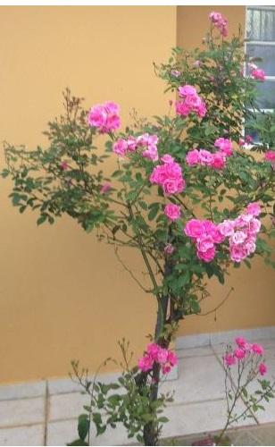 Rosas para mamães verdadeiras